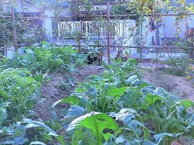 家庭菜園 006
