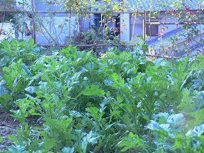 家庭菜園 007