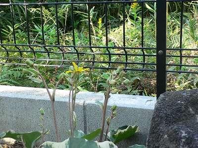 家庭菜園 003