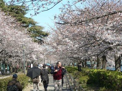 桜、大川端 001_t