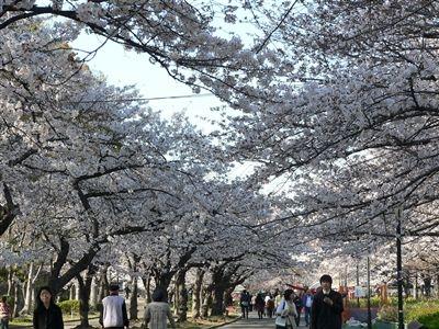桜、大川端 009_t