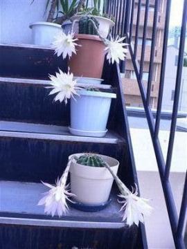 サボテンの花32 001_t
