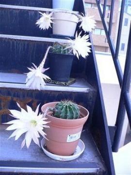 サボテンの花32 002_t