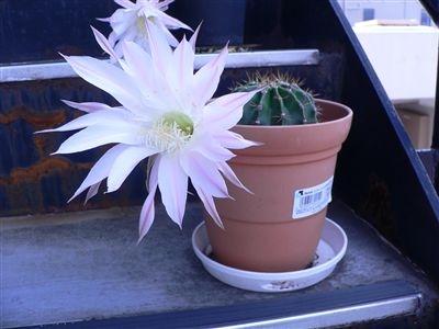 サボテンの花32 003_t