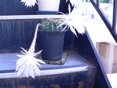 サボテンの花32 004_t