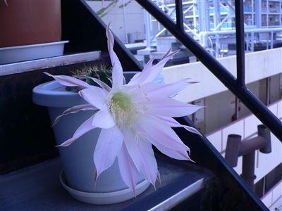 サボテンの花32 006_t