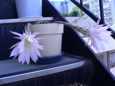 サボテンの花32 005_t