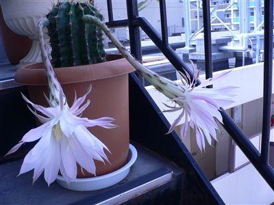 サボテンの花32 007_t