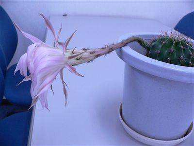 サボテンの花32 008_t