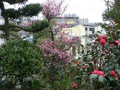 初春の梅花 002_t
