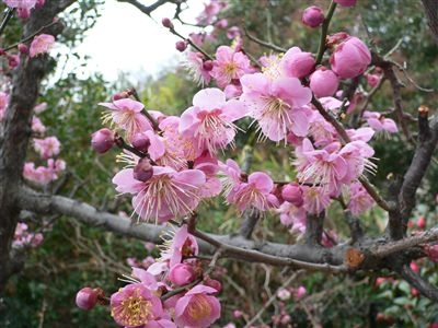 初春の梅花 003_t