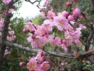 初春の梅花 004_t