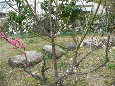初春の梅花 013_t