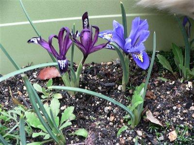 初春の梅花 012_t