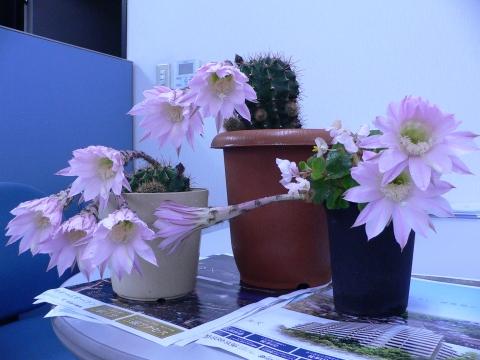 サボテンの花 019