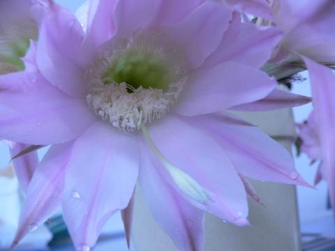 サボテンの花 023