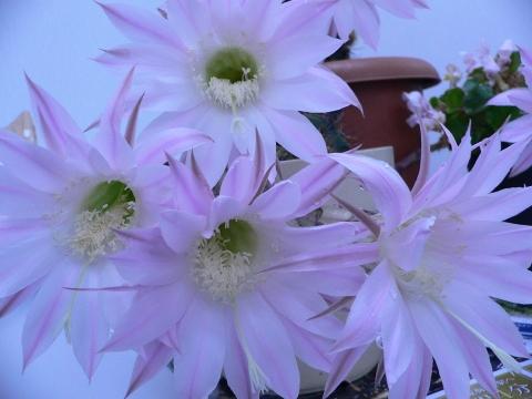 サボテンの花 025