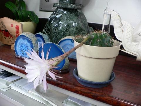 サボテンの花 029